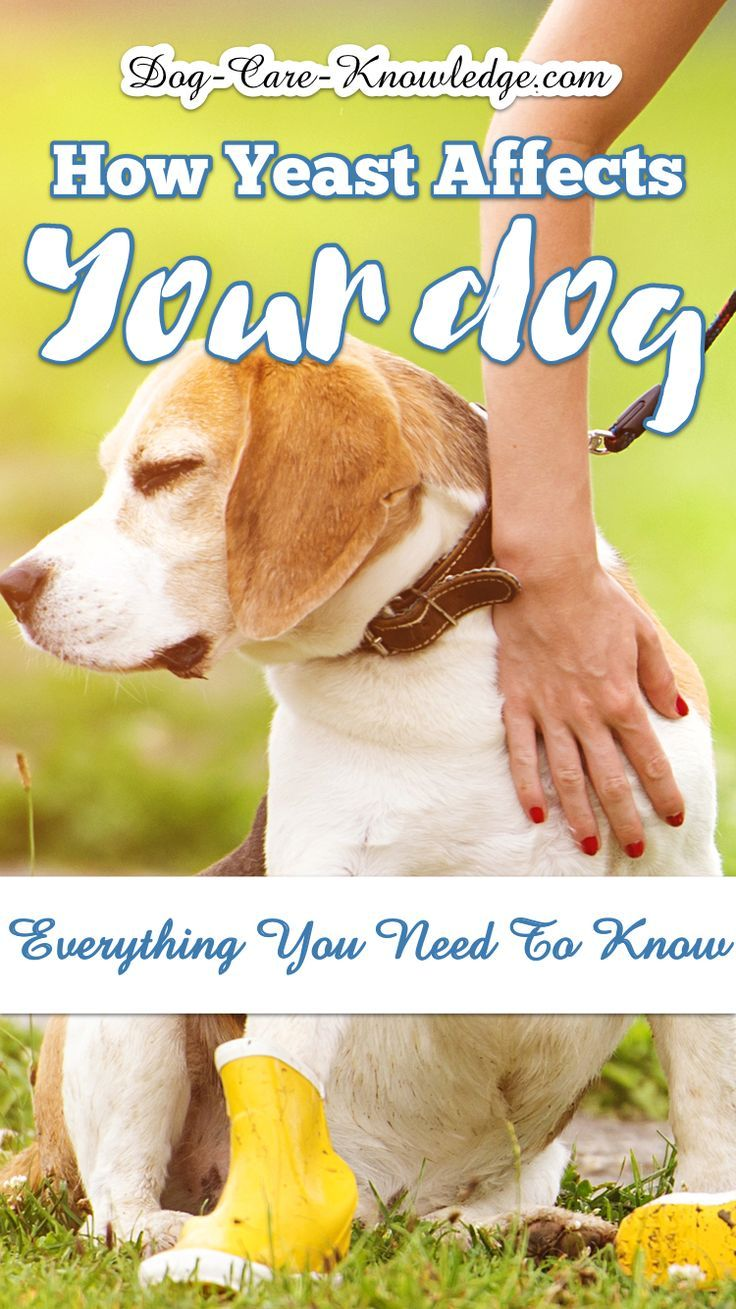 Yeast Infection In Dogs How To Really Conquer It Dog Yeast Infection Skin Dog Yeast Infection Dog Allergies