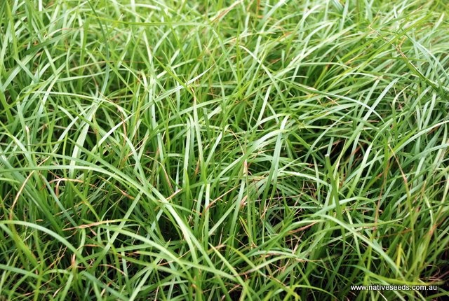 New planting of Weeping grass Griffin lawn - Microlaena stipoides