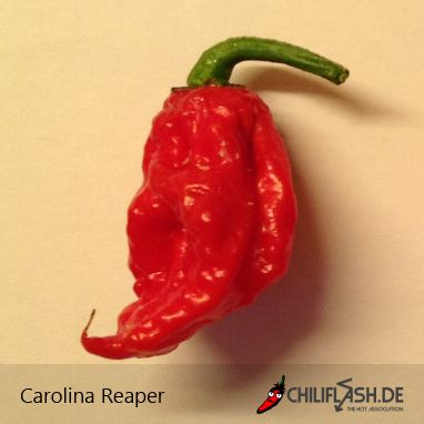 """Carolina Reaper: The chili varieties Carolina Reaper is a Capsicum chinense hybrid of the varieties Bhut Jolokia and Red Habanero. Carolina Reaper has more than 2.2 million Scoville units, the currently hottest chile variety of the world (holds a Guinness World Record entry in the category """"strongest Chili Species of the World""""). Carolina Reaper was bred by Ed Currie of the PuckerButt Pepper Company in South Carolina. Carolina Reaper is also known under the name HP22B."""
