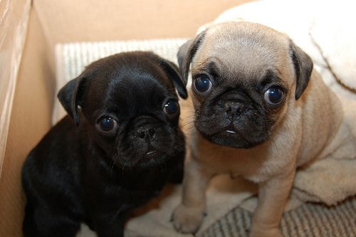 Things i Like: Pugs