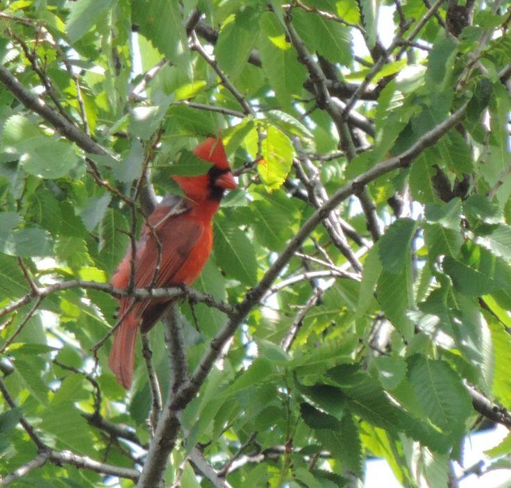 Extrait du texte L'île idéale pour l'observation d'oiseaux: Si vous saviez tous les oiseaux qu'on peut voir en ville! Ici un Cardinal. Pour en savoir plus, allez découvrir mon texte...