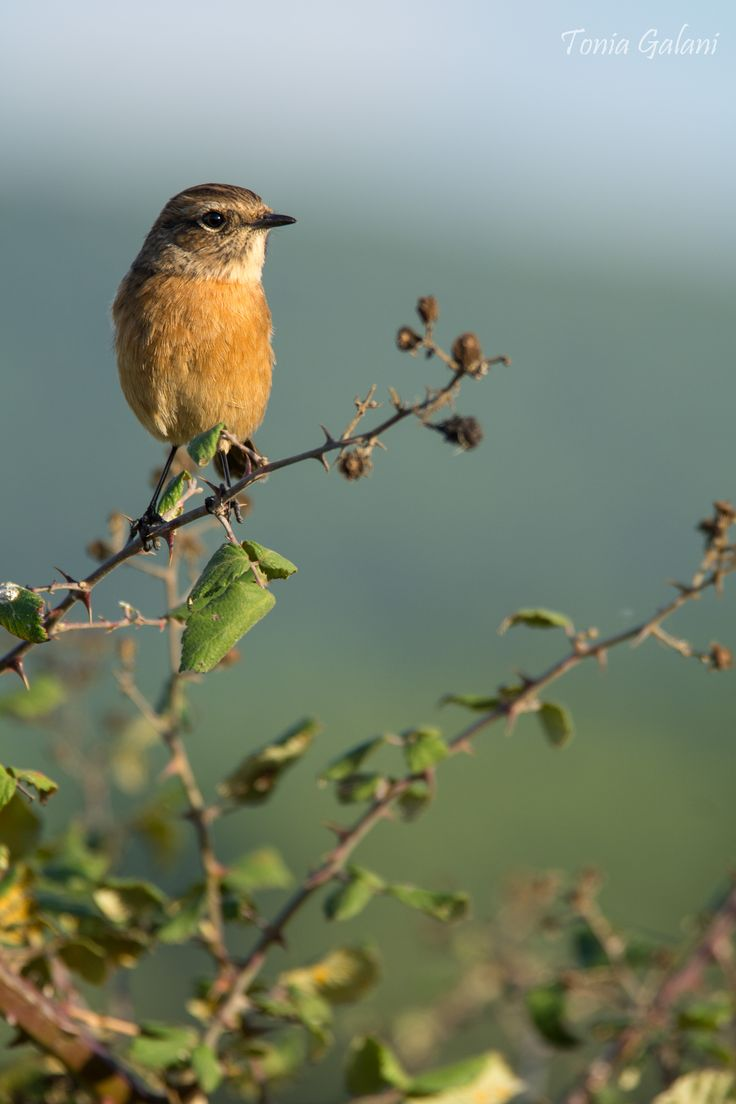 European stonechat ...in the afternoon light