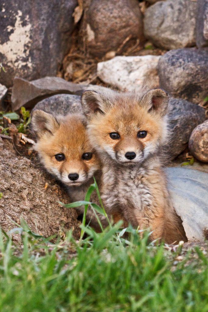 Little fox cubs (by SaskSnapper)