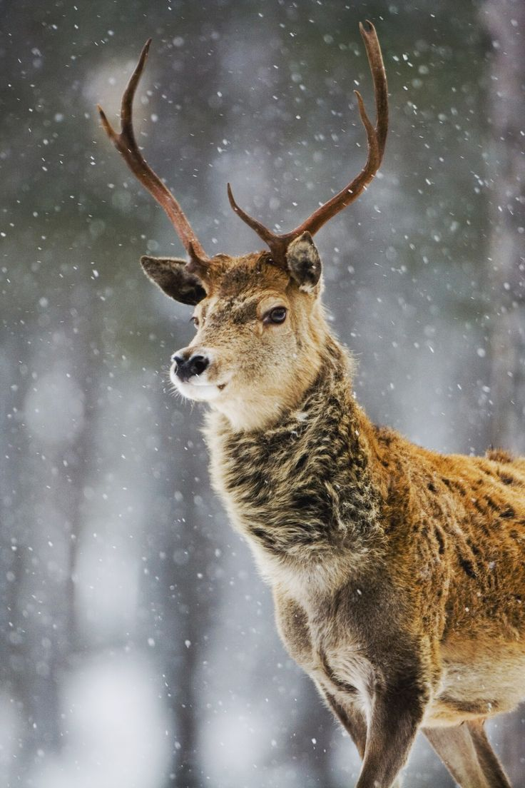 "mstrkrftz: ""Red Deer by Don Hooper"""