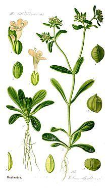 Valerianella locusta - lamb's lettuce - Valerianella locusta - kozlíček polníček (kozlíček polní)