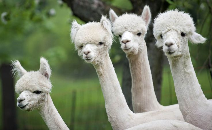 Alpacas stand on a field in Friedberg, Germany on May 2. An alpaca is a domesticated species of South American camelid that resembles a small llama in appea