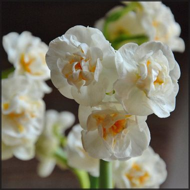 "Narcissus 'Bridal Crown' Easy to Grow Bulbs 14-16"" Early spring 10 for $11"