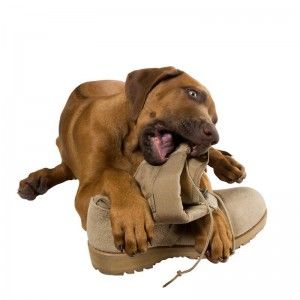 stop dogs chewing shoes