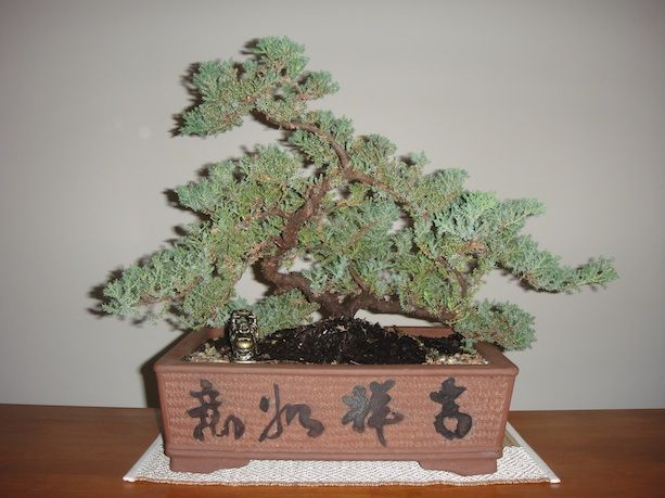17 best images about bonsai on pinterest trees for Best bonsai tree species