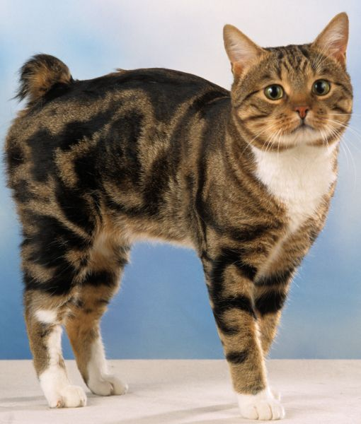 http://www.kittyinny.com/blog/the-manx-cat