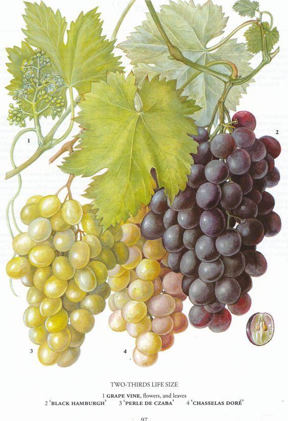 retroscan botanical print, free download, grapes: