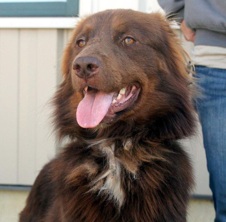 10/15/13-- Bishop is a 10 month old male Golden Retriever/Chocolate Labrador Retriever mix.  He is very sweet and is an active dog that will love to run and play in his very own fenced yard! He is neutered, microchipped, up to date with vaccinations...