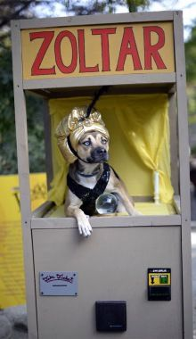 #Zoltar the #FortuneTeller ~ #pup #dog #halloweencostumes #halloween #petcostume #pet #costume #fortune
