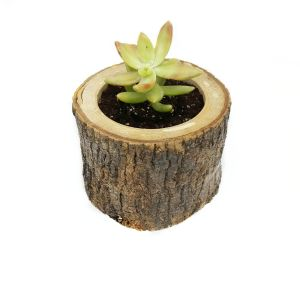 Salkim Succulent-Sukulent