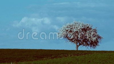 Time lapse of an cherries tree in bloom with clouds