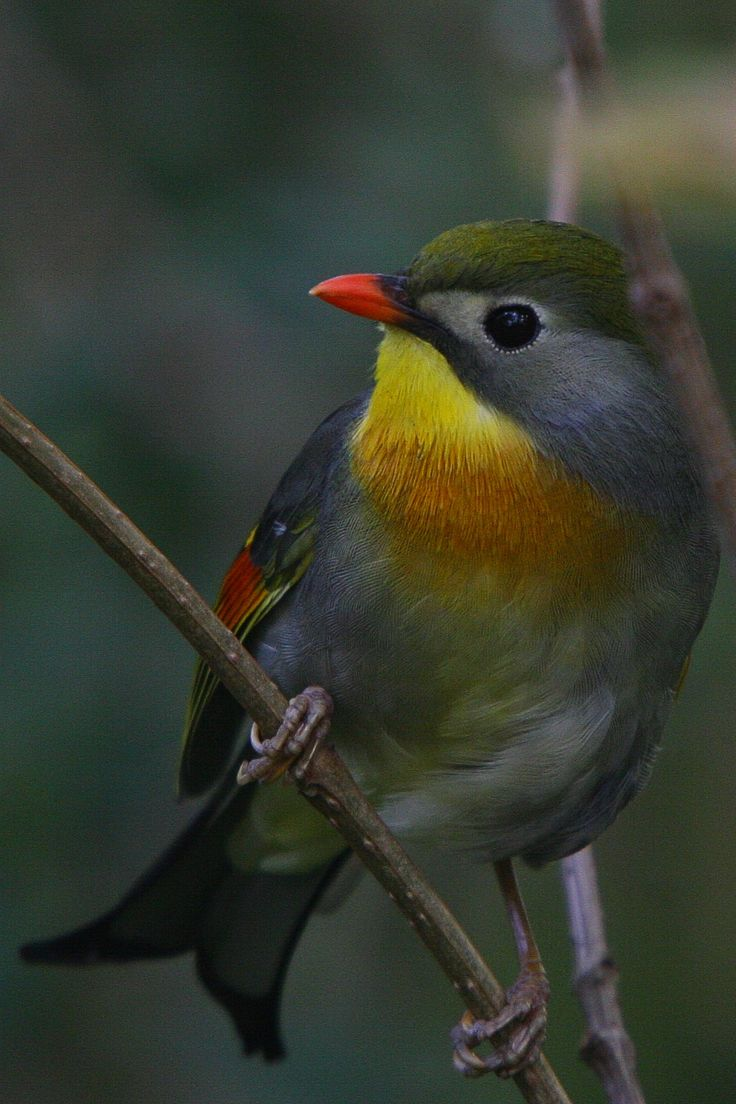 The Red-billed Leiothrix (Leiothrix lutea) is a member of the Leiothrichidae family, and is native to the Indian Subcontinent. The leiothrix is usually found in India, Bhutan, Nepal, Burma and parts of Tibet.