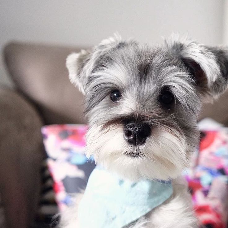 "412 Likes, 20 Comments - (wonder)Wally (@wonderwallythedog) on Instagram: ""Got brushed this morning so extra fluffy right now. • • • #schnauzerworld #schnauzer…"""