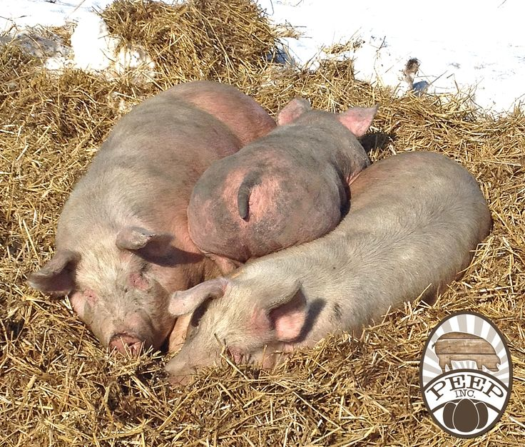 Our pigs laying out in the sun! Loving the warmer weather thats coming! Pasture Eggs En Pork. Peep inc. pigs. #nongmo #healthypigs #sustainability #PastureEggsEnPork #antibioticfree #pastureraised #peepinc