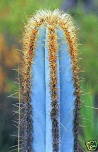 Pilosocereus purpureus @J@ exotic color columnar rare cacti cactus seed 10 SEEDS in Home & Garden, Yard, Garden & Outdoor Living, Plants, Seeds & Bulbs, Plants & Seedlings, Cacti & Succulents | eBay
