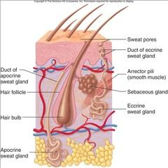 parts of integumentary system
