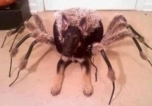 Le premier chien araignée !