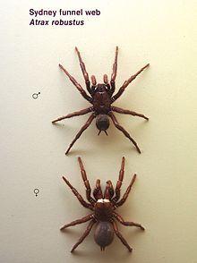 Ses chélicères, de forte puissance, peuvent sans peine percer et traverser un ongle[réf. souhaitée], un jean ou encore le cuir souple d'une chaussure de sport.  Un antivenin a été créé en Australie, à base d'anticorps de lapins, ceux-ci n'étant pas réactifs aux morsures de l'Atrax robustus. Cependant, pour être efficace, il doit être injecté dans l'heure qui suit la morsure.  Elle fait partie des trois groupes d'araignées où l'on a pu recenser des cas de mortalités