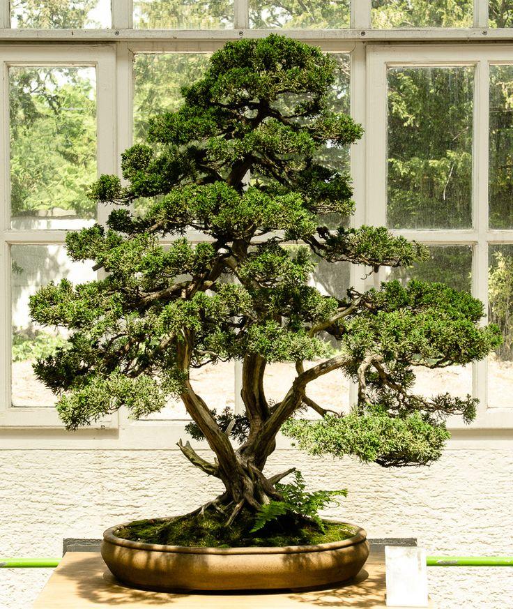 chinesischer wacholder juniperus chinensis als bonsai bonsai b ume pinterest bonsai. Black Bedroom Furniture Sets. Home Design Ideas