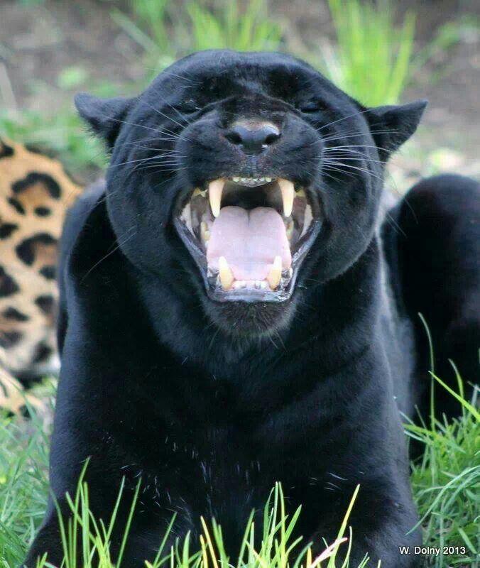 Black Jaguar Growl: Roaring Jaguar