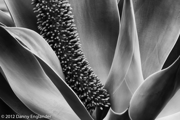 """""""Agave Plant Closeup"""" a black and white photo by Danny Englander"""