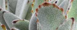 Cuidados de la planta Kalanchoe tomentosa o Planta panda.