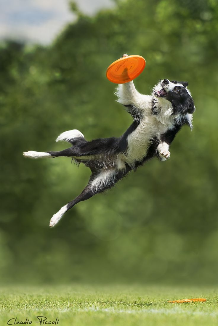 A Border Collie That Knows How How To Use Her Paw To Catch The Disc In