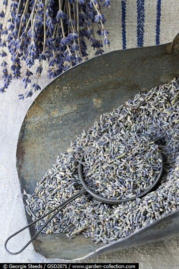 Dried Lavender in an old grain scoop waiting to have the oil rubbed out.
