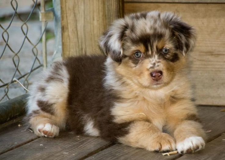 Pine Hill Aussies Available Aussie puppies, Aussie