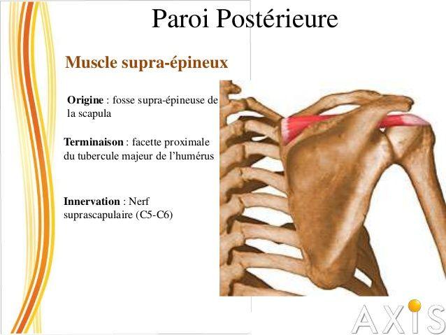 Paroi Postérieure Muscle infra-épineux Origine : ¾ internes de la fosse infra-épineuse de la scapula  Terminaison : facett...
