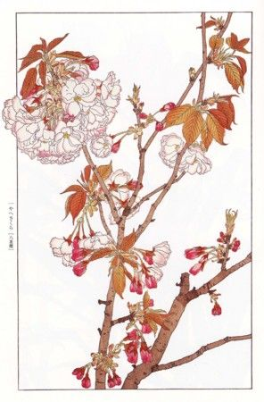Hisui Sugiura 杉浦非水「やへざくら」(『非水百花譜』第1輯)