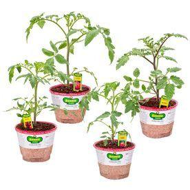 Bonnie 25-Oz Better Boy Tomato; Big Boy Tomato; Celebrity Tomato; Goli