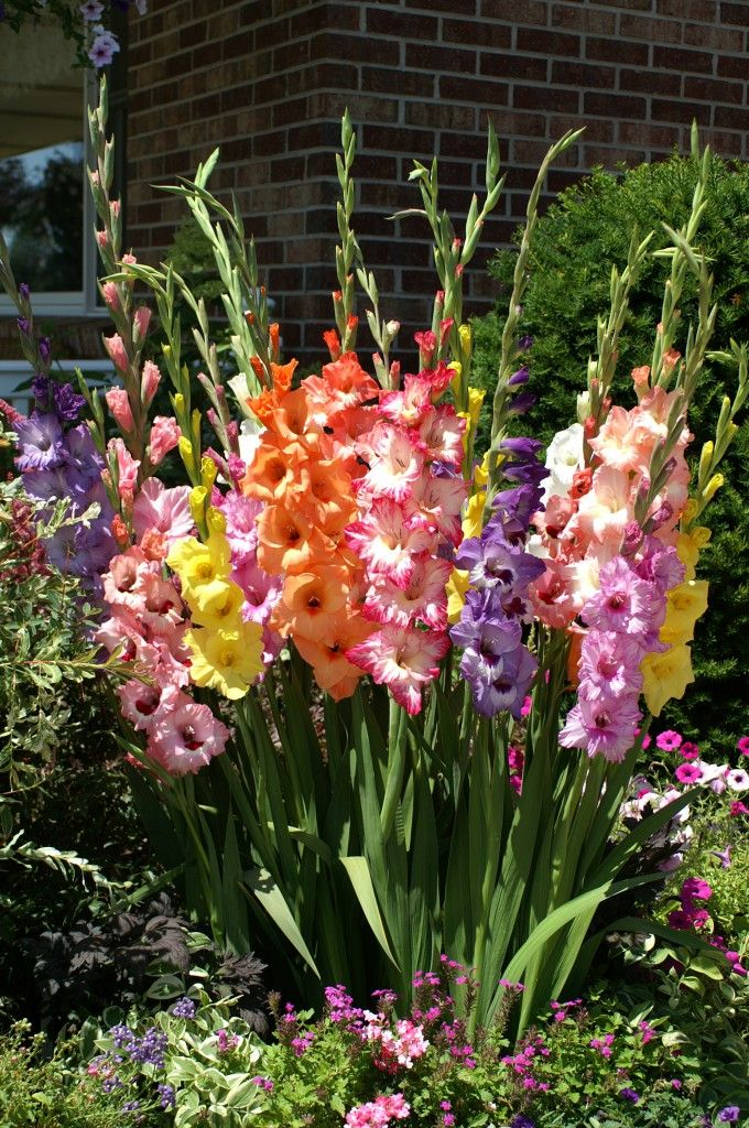 Glorious Gladiolus (Plant close together so they come up in a shock of glory)