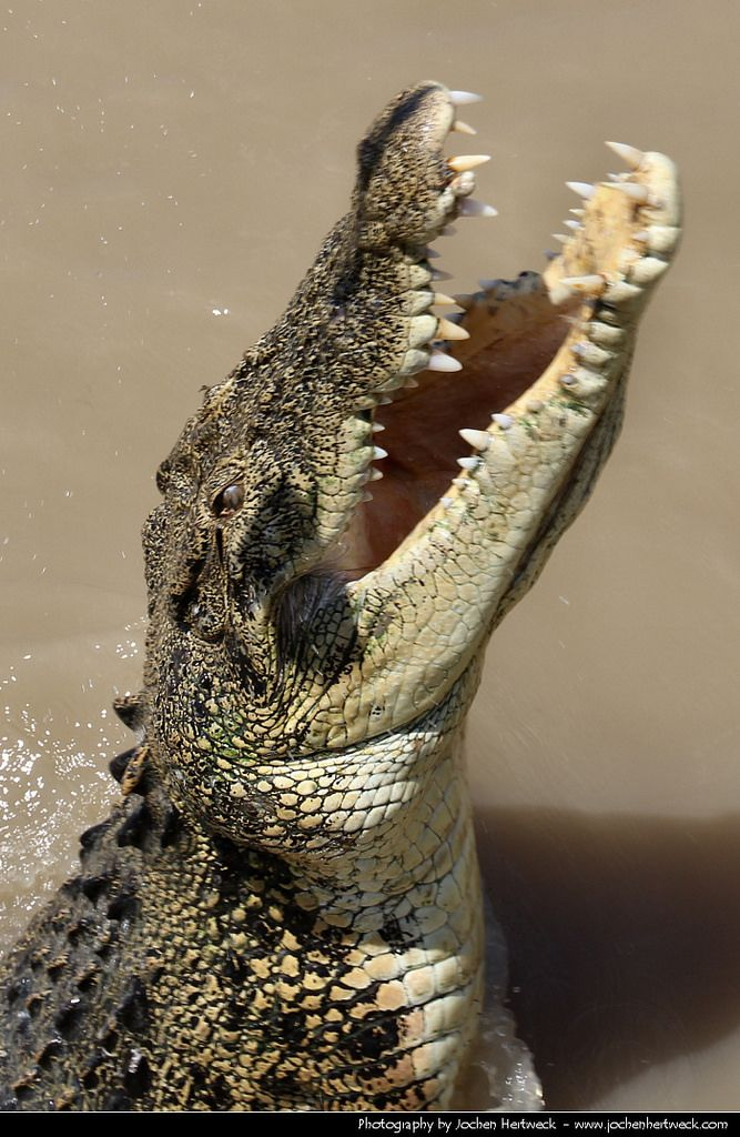 Saltwater Crocodile, Adelaide River, Northern Territory, Australia.