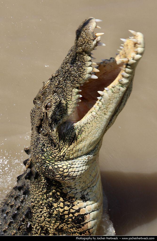 Saltwater Crocodile, Adelaide River, Northern Territory, Australia.