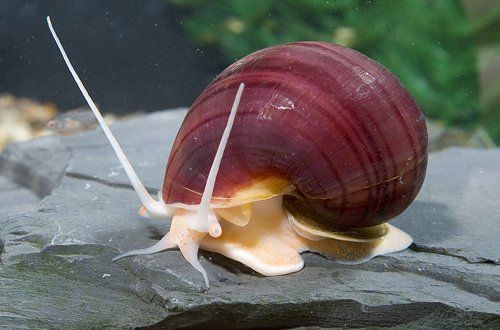 Lavender Mystery Snail (I have also seen this one sold as burgandy)