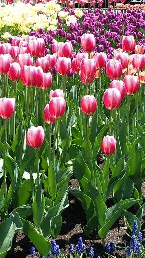 2014 tulip festival Ottawa