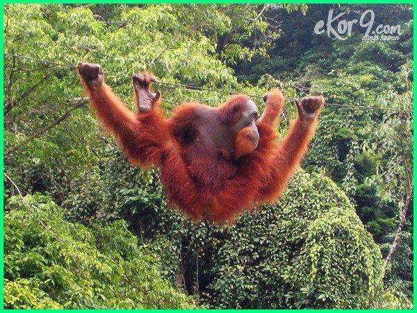 Hewan Langka Di Indonesia Cara Pelestarian Dan Suaka Margasatwanya Orangutan Sumatran Orangutan Animal Species