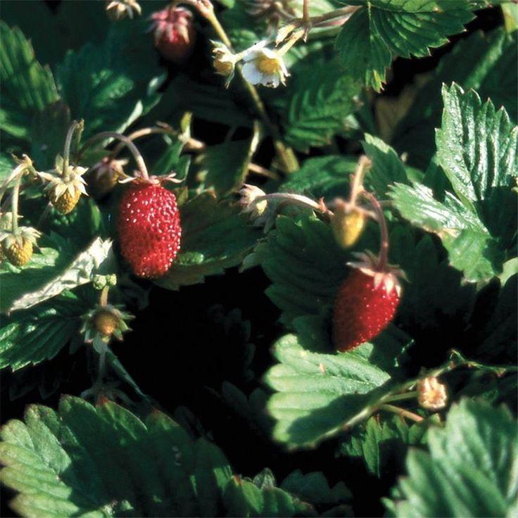 Planter et cultiver les fraisiers