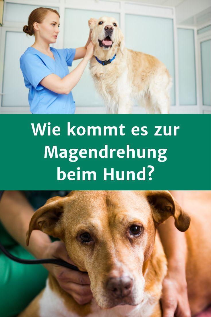 Magendrehung Beim Hund Erkennen Symptome Und Anzeichen Hunde