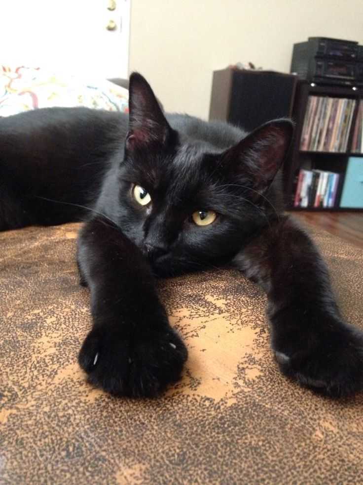 Where Can I Adopt A Bombay Cat