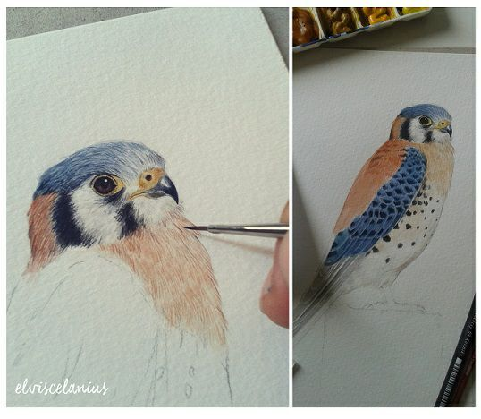 """""""Falco Sparverius"""" in process with watercolor."""