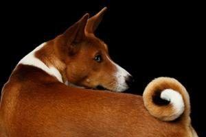 Pourquoi les chiens remuent-ils la queue ?