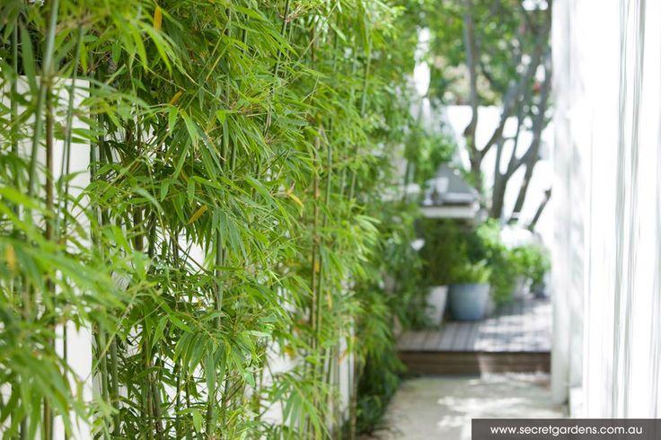 17 Best Screening Plants Perth Australia Images On