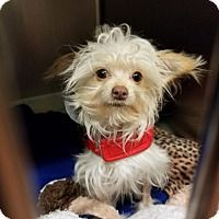 Poodle (Miniature)/Yorkie, Yorkshire Terrier Mix Puppy for adoption in SAN PEDRO, California - Mouse