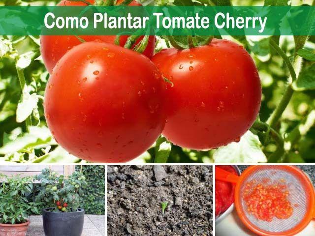 Aprender A Como Plantar Tomate Cherry En Terreno O Maceta Preparar La Tierra Sembrar La Semilla Plantas De Tomate Semillas De Tomate Cultivar Tomates Cherry